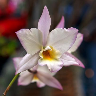 Beautiful Purple Orchid - Zagros Photos